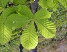 chestnut-leaf