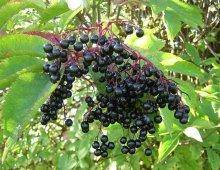 elder-berries