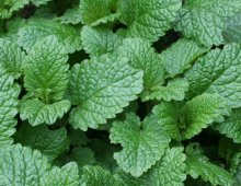 lemon-balm-leaf