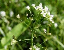 shepherd-s-purse-herb