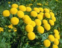 tansy-flowers